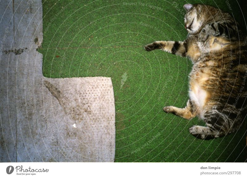 ...Mühe gegeben. Yoga Wiese Haustier Katze 1 Tier fallen fliegen krabbeln springen dick kuschlig nah grau grün Zufriedenheit beweglich Ausdauer anstrengen