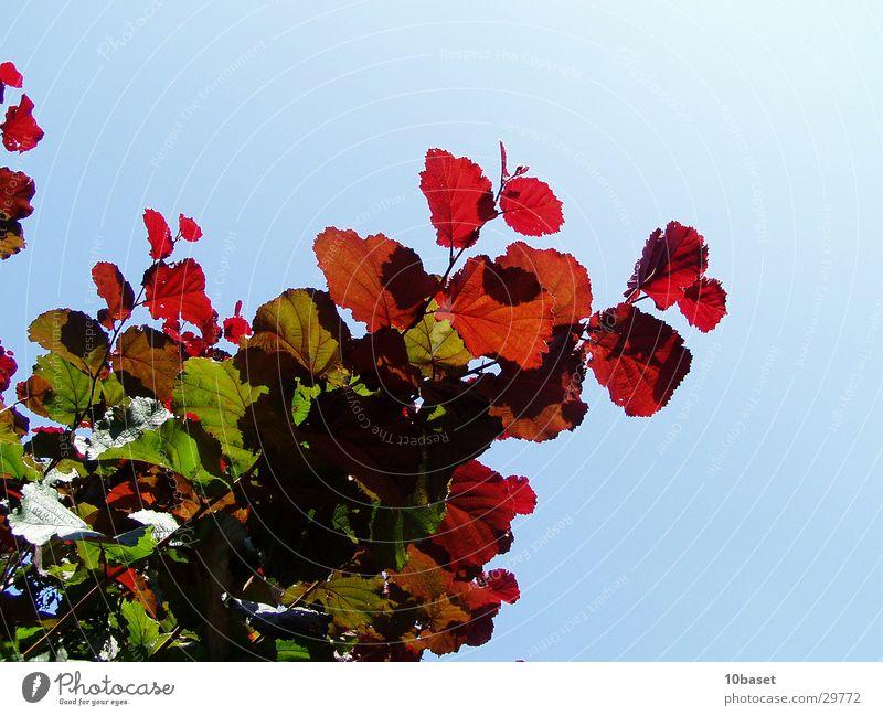 Ampelstrauch Natur Pflanze Sträucher Schönes Wetter Färbung Haselnuss