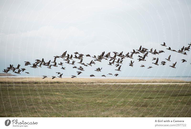 Rømø - wild goose chase Umwelt Natur Landschaft Frühling Tier Gans Wildgans Tiergruppe Schwarm fliegen Bewegung Gedeckte Farben Außenaufnahme Menschenleer