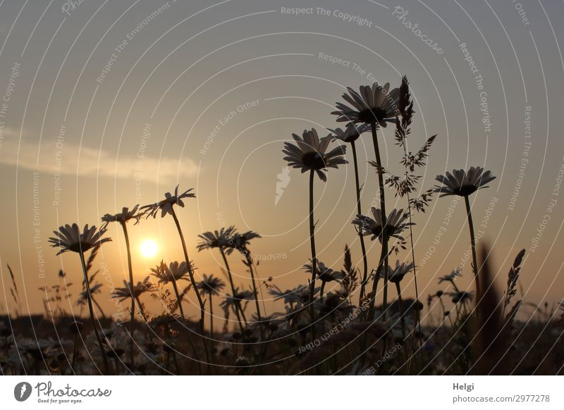 Margaritenblüten auf einer Blumenwiese im Gegenlicht der Abendsonne Umwelt Natur Landschaft Pflanze Erde Sommer Schönes Wetter Gras Blatt Blüte Wildpflanze