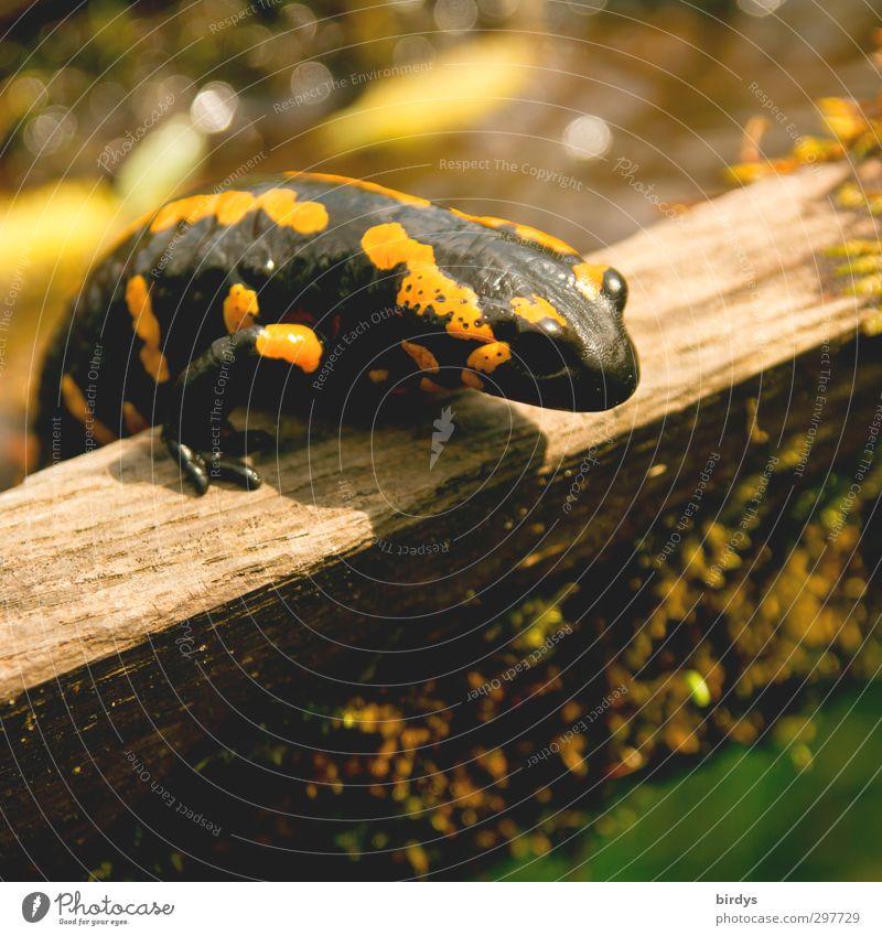 Lurchis Abenteuer Natur Frühling Sommer Wildtier Feuersalamander Salamander Schwanzlurche Amphibie Reptil 1 Tier krabbeln ästhetisch außergewöhnlich elegant