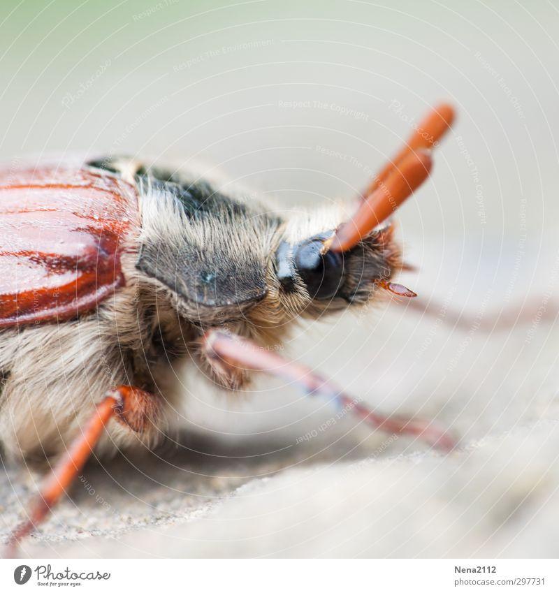 May bug Natur Tier Umwelt Wiese Frühling Haare & Frisuren klein Garten braun Wetter Park Feld Klima Schönes Wetter Fell Tiergesicht