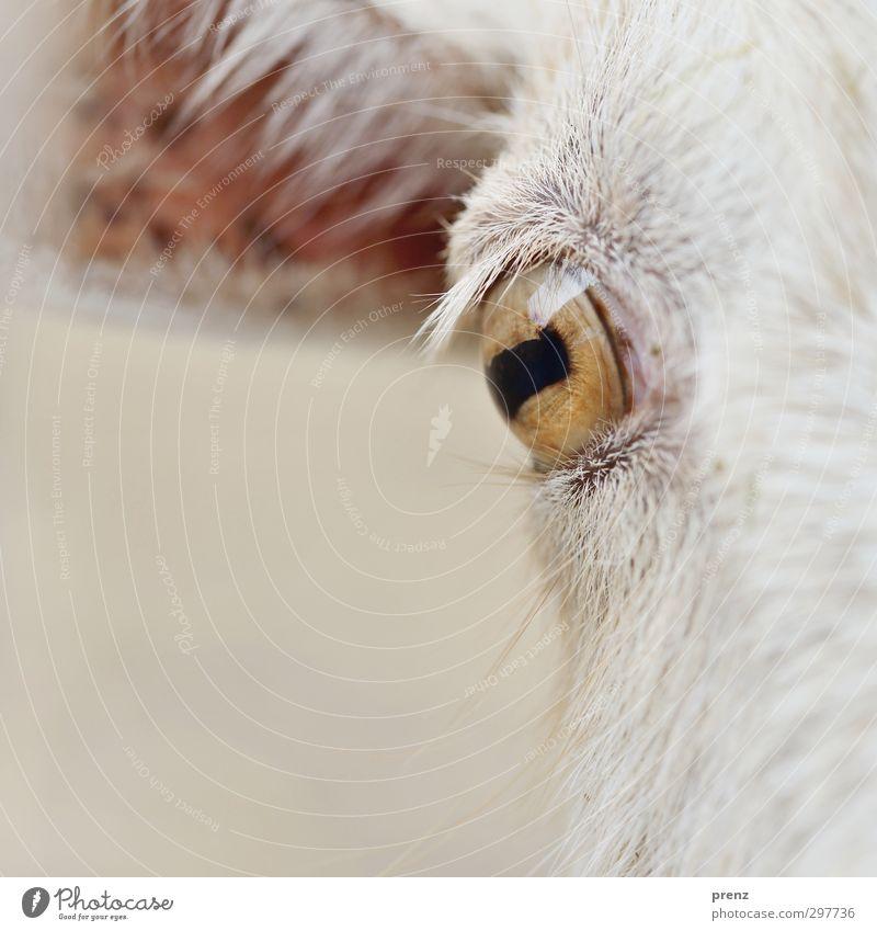 Augenblick weiß Tier Auge braun Nutztier Ziegen