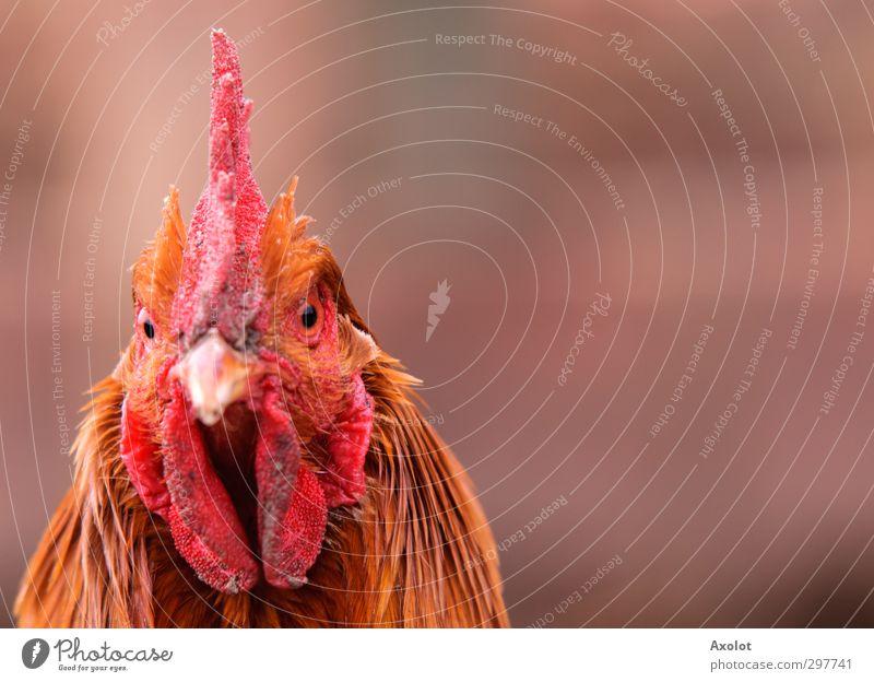 Hühnerportrait Tier Nutztier Wildtier Hahn Kopf Auge Haushuhn Feder 1 beobachten Denken Blick warten ästhetisch frei schön natürlich trist wild gold orange rot