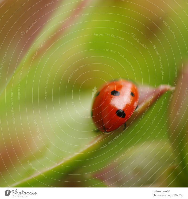 Coccinella Tier Nutztier Käfer Flügel Marienkäfer krabbeln laufen sitzen klein natürlich rund grün rot schwarz Glück Sympathie Glücksbringer Symbole & Metaphern