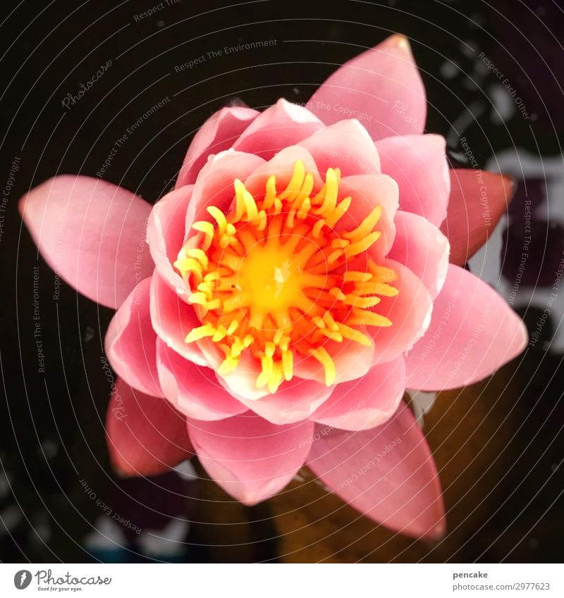 gesundheit | durch harmonie Seerose Wellness Gesundheit Wohlbefinden Schönheit Blüte Wasser Harmonie Erholung Lifestyle Entspannung Spa Therapie Haut Yoga