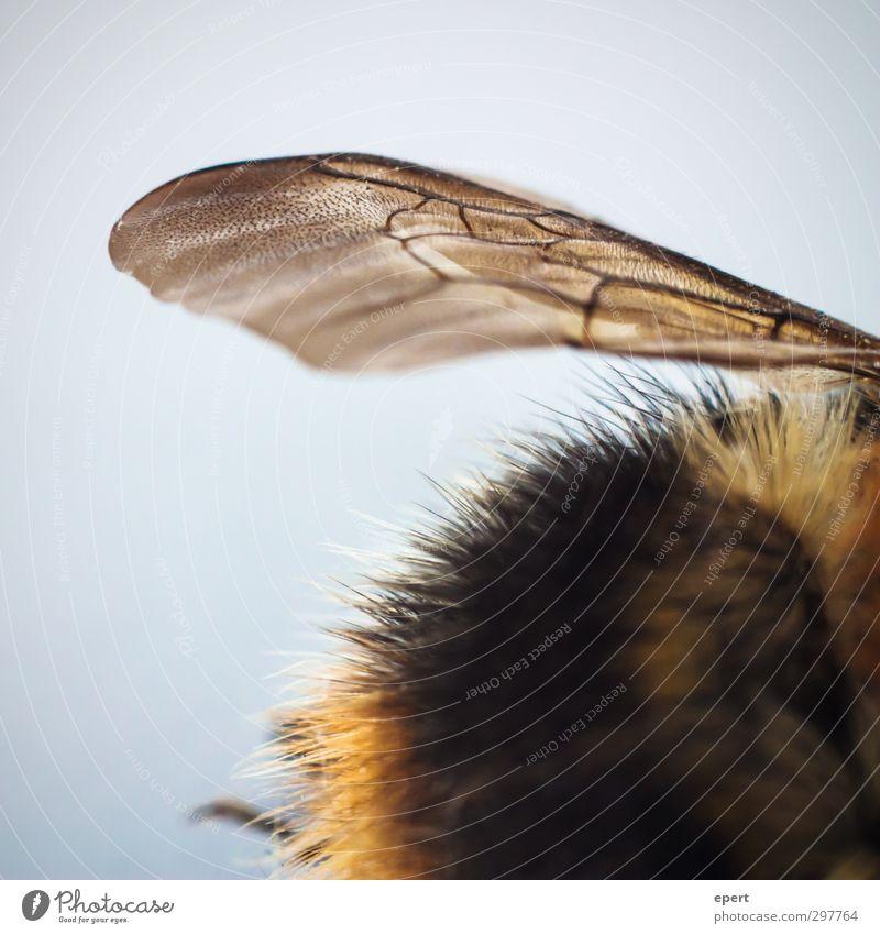 kaputt. Tier ästhetisch Flügel Vergänglichkeit Fell Insekt Biene Hummel faszinierend Totes Tier