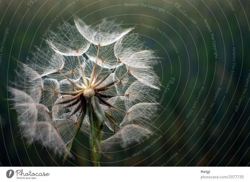 Riesengroße Pusteblume, Fruchtstand des Wiesenbocksbartes vor dunklem Hintergrund Umwelt Natur Pflanze Sommer Blume Wildpflanze Löwenzahn Riesenpusteblume
