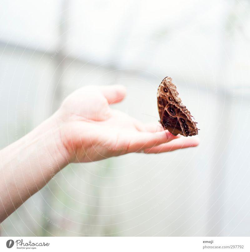 vorsichtig Hand Tier Wildtier Schmetterling Flügel 1 außergewöhnlich braun berühren Farbfoto Außenaufnahme Makroaufnahme Hintergrund neutral Tag