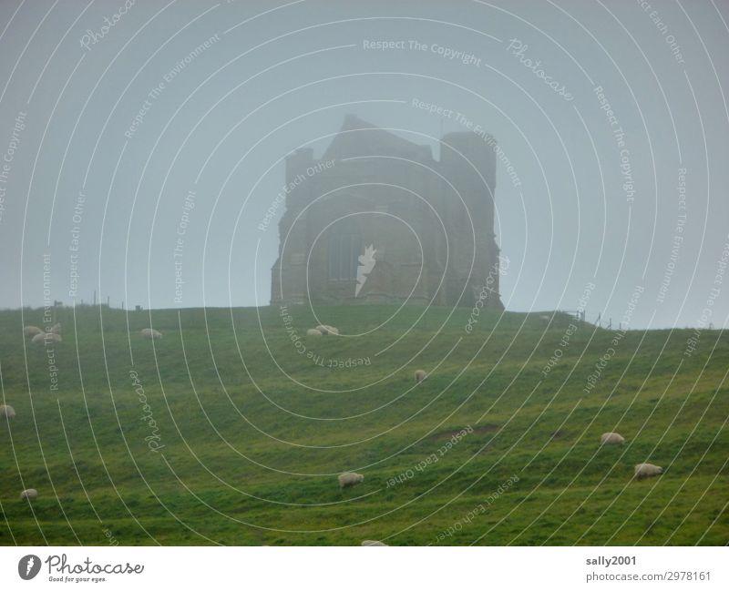 nebulös   english fog... Natur alt Einsamkeit dunkel Wiese Gras Nebel Hügel Burg oder Schloss gruselig Ruine England Englisch schlechtes Wetter Herde unklar