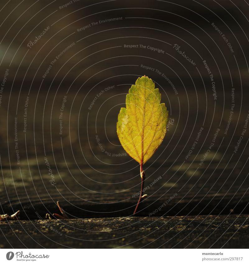 Einzelkämpfer Umwelt Natur Pflanze Blatt Grünpflanze Wildpflanze dünn authentisch einfach klein braun gelb Farbfoto mehrfarbig Außenaufnahme Nahaufnahme
