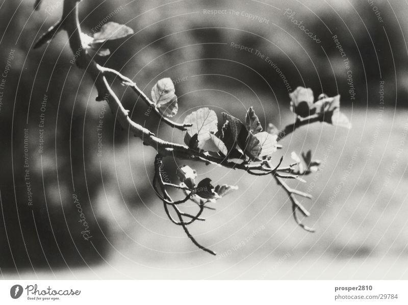 buchenzweig schwarz weiß Baum Blatt Buche Ast Zweig