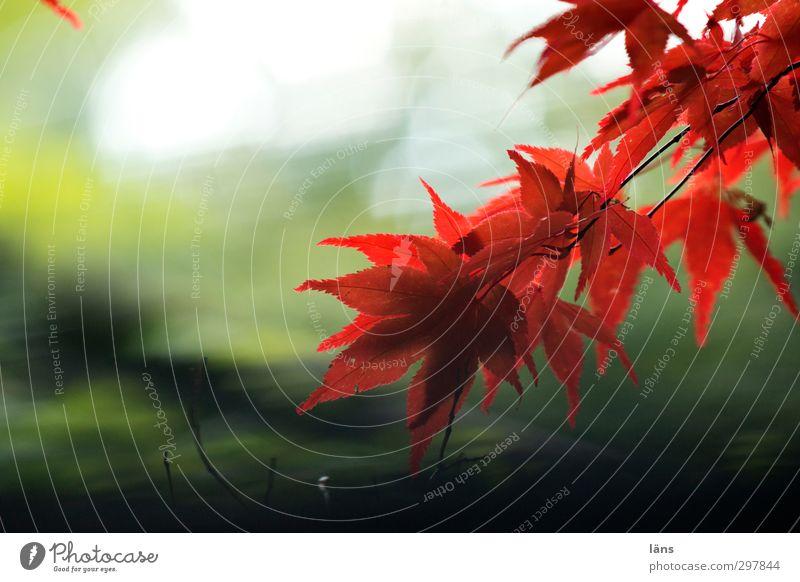 Endspiel Natur Pflanze Herbst Baum Blatt ästhetisch grün rot Ahorn Ahornblatt Außenaufnahme Menschenleer Sonnenlicht Schwache Tiefenschärfe