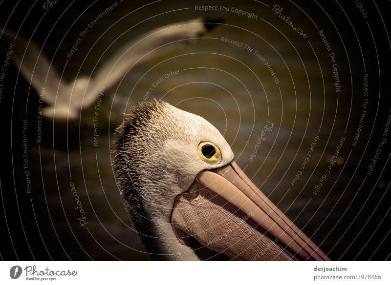 Überflieger exotisch Freude harmonisch Ausflug Sommer Natur Schönes Wetter Felsen Meer Queensland Australien Menschenleer Wildtier Vogel Tiergesicht Pelikan 2