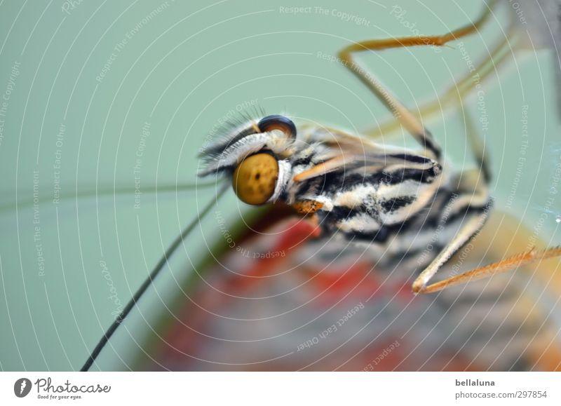 Liebe für's Detail | alles Liebe... Natur Tier Wildtier Schmetterling 1 hängen ästhetisch elegant exotisch schön natürlich braun orange weiß Insekt Geburt