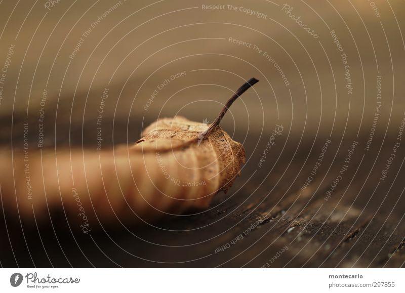 Liebe für's Detail | Abgelaufen Umwelt Natur Pflanze Herbst Blatt Grünpflanze Wildpflanze alt dünn authentisch einfach klein natürlich trocken braun Farbfoto