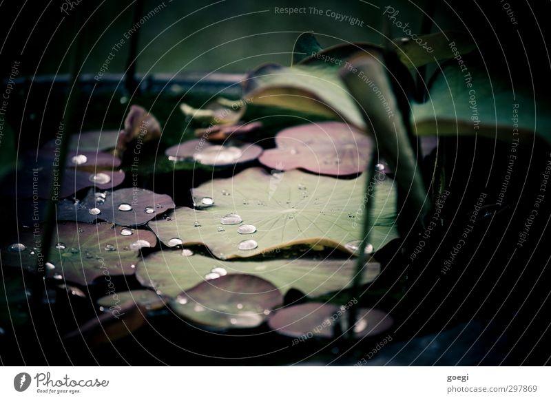 Perlen auf Seerosen geworfen Natur grün Wasser weiß Pflanze rot schwarz Umwelt Wassertropfen Lichtbrechung hydrophob Seerosenblatt Seerosenteich