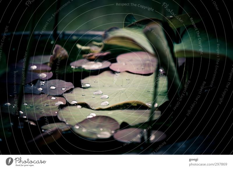 Perlen auf Seerosen geworfen Umwelt Natur Pflanze Wasser Wassertropfen Seerosenteich Seerosenblatt grün rot schwarz weiß hydrophob Lichtbrechung Farbfoto