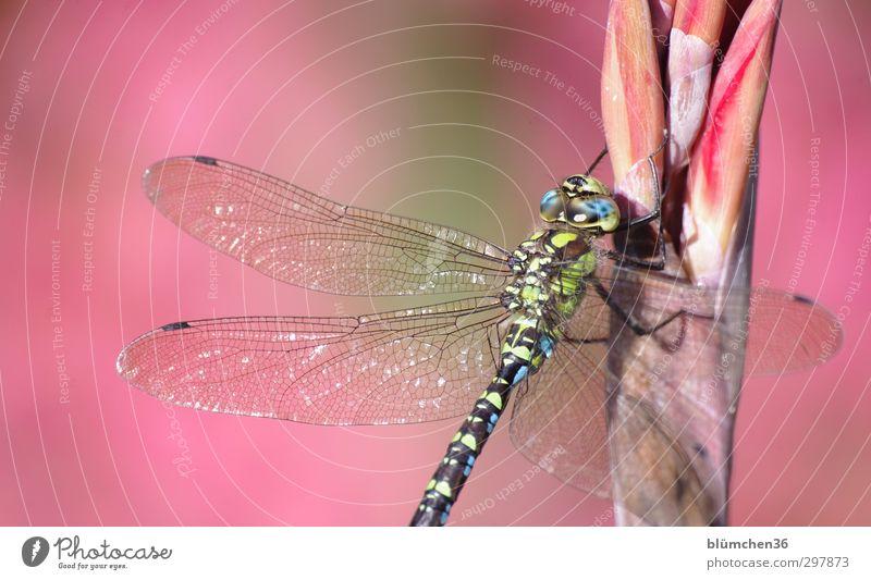 Liebe fürs Detail   Filigran blau grün Tier Wildtier sitzen elegant groß ästhetisch Flügel dünn zart Insekt exotisch filigran schimmern Libelle