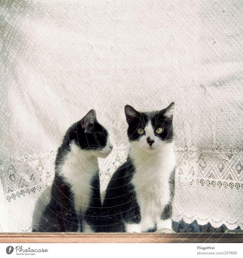 Sag jetzt nichts. Katze schön weiß Tier Autofenster Wohnung beobachten Gardine Fleck Spitze Fensterbrett