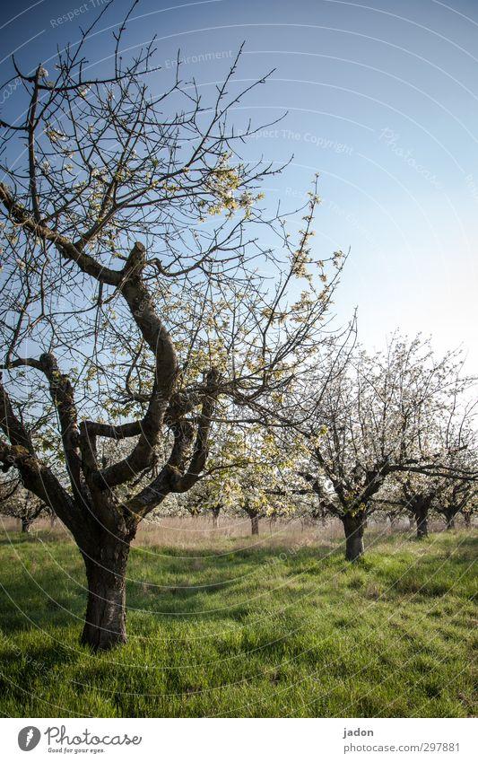 opas obstgarten. Himmel Natur alt Pflanze Baum Senior Frühling Blüte natürlich Gesundheit Garten Stimmung Frucht Erde Wachstum Schönes Wetter