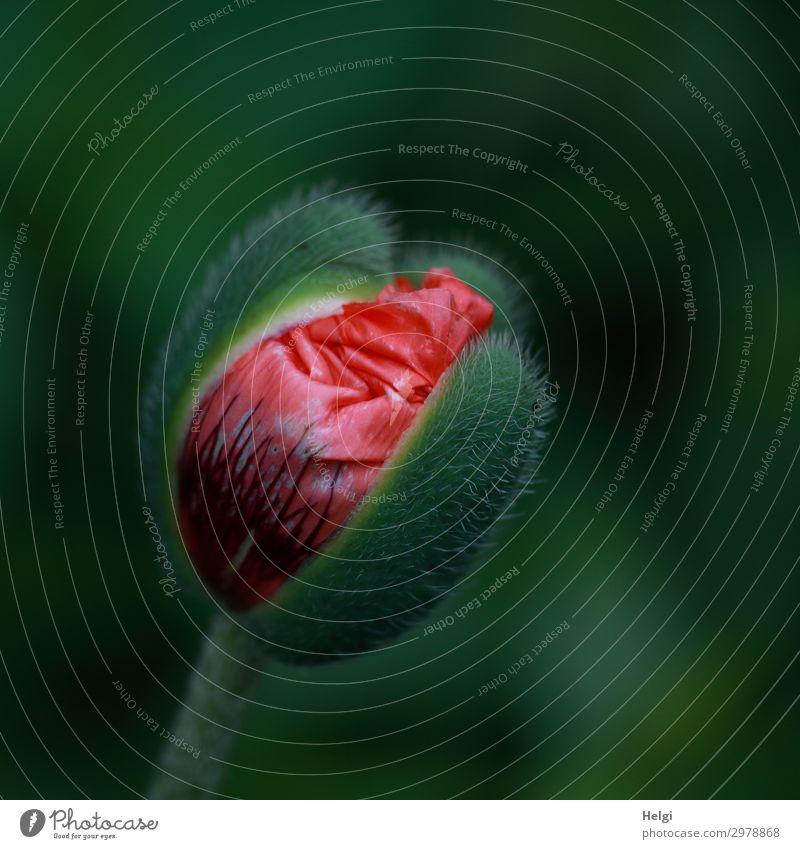 mal wieder Mo(h)ntag Natur Pflanze schön grün rot Blume Leben Umwelt Blüte Frühling natürlich Garten Wachstum ästhetisch Beginn Blühend