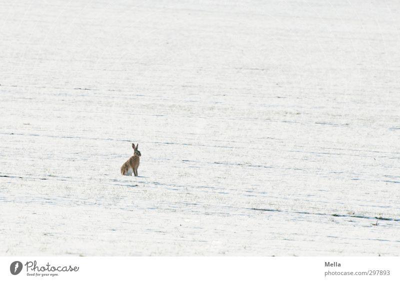 Niko... nee, warte mal ... Osterhasi! Natur weiß Landschaft Tier Winter Umwelt Wiese kalt Schnee Freiheit klein hell natürlich Feld Erde Wildtier