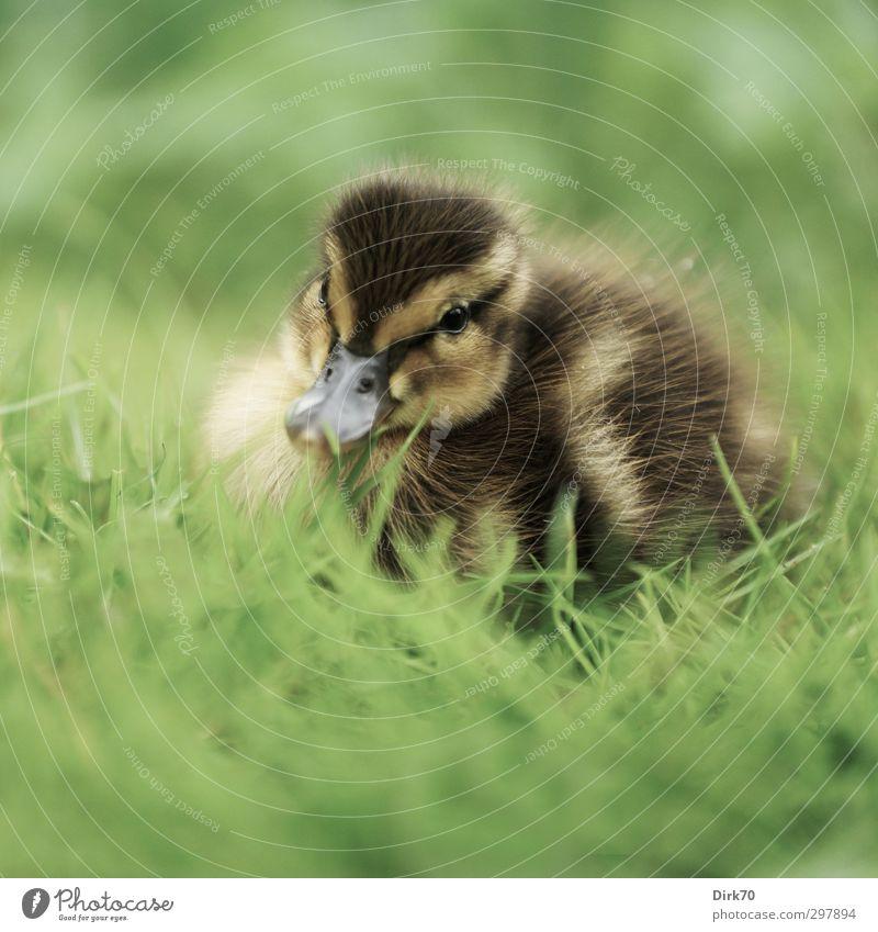 Klein & flauschig Natur grün Pflanze Tier ruhig schwarz Wiese Leben Tierjunges Gras Frühling grau klein natürlich braun Vogel