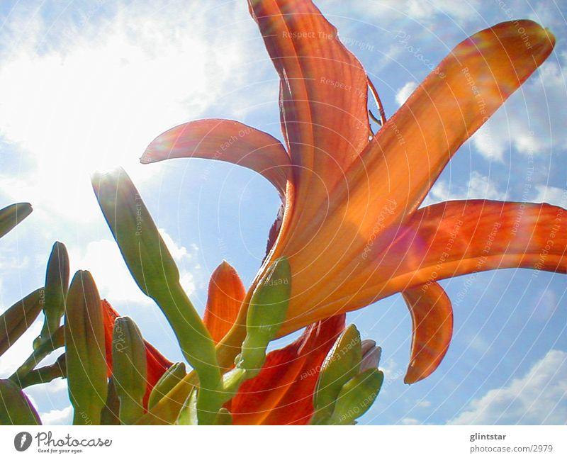 Lilie Blume Gegenlicht Sommer Natur Sonne Garten