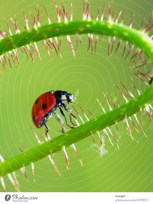 Ein Marienkäfer der auf einem Halm entlang klettert Makroaufnahme Nahaufnahme krabbeln grün Käfer Glück Ganzkörperaufnahme Tierporträt Porträt