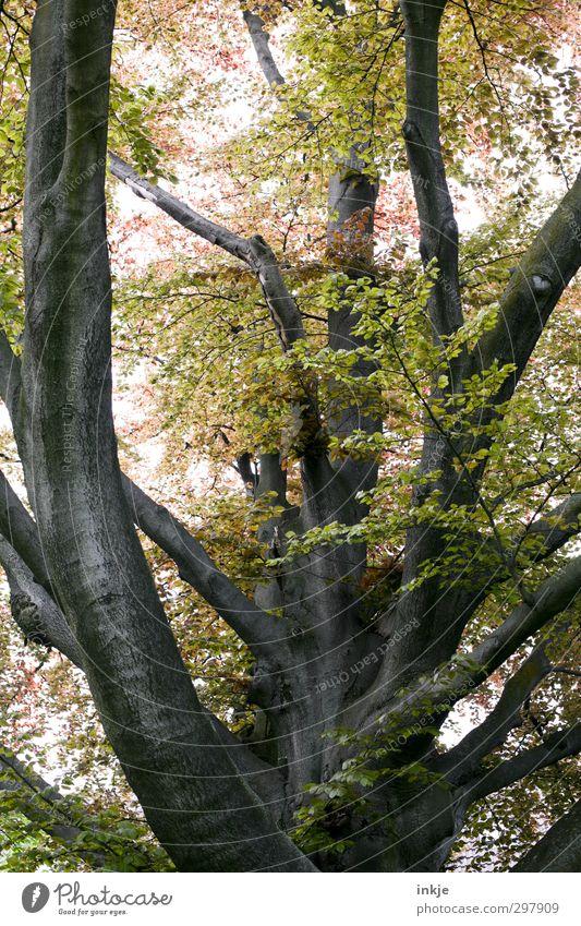 spring Natur Frühling Sommer Schönes Wetter Baum Rotbuche Baumstamm Ast Geäst Garten Park Wachstum gigantisch groß hoch natürlich oben stark Größe Farbfoto