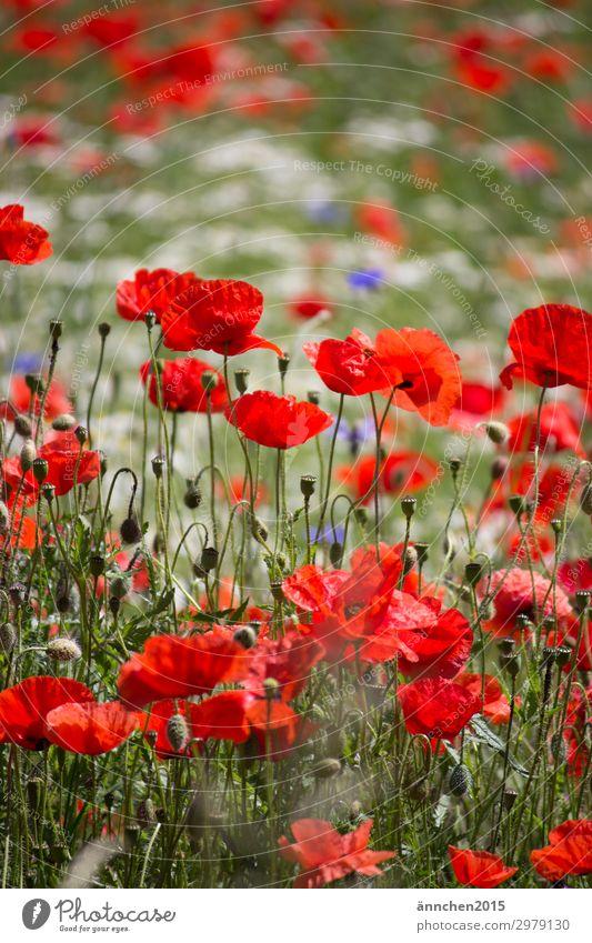 Mohnblumenwiese rot blau Kornblume Wiesenblume Blumenwiese weiß Natur Sommer Frühling Pflanze Außenaufnahme pflücken Blumenstrauß