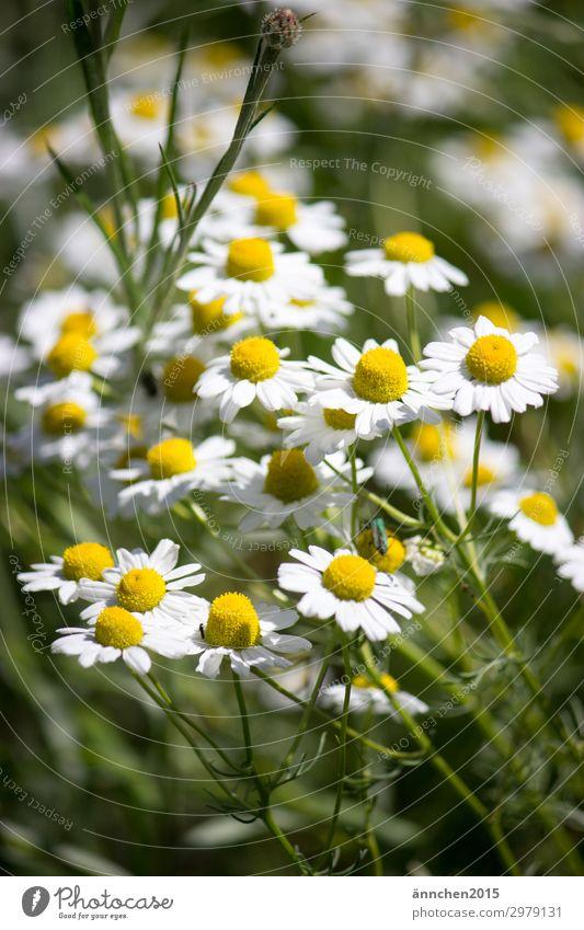 Sommerzeit Natur Pflanze grün weiß Blume gelb Blüte Frühling Feld Blumenstrauß Landleben pflücken Sommersonnenwende