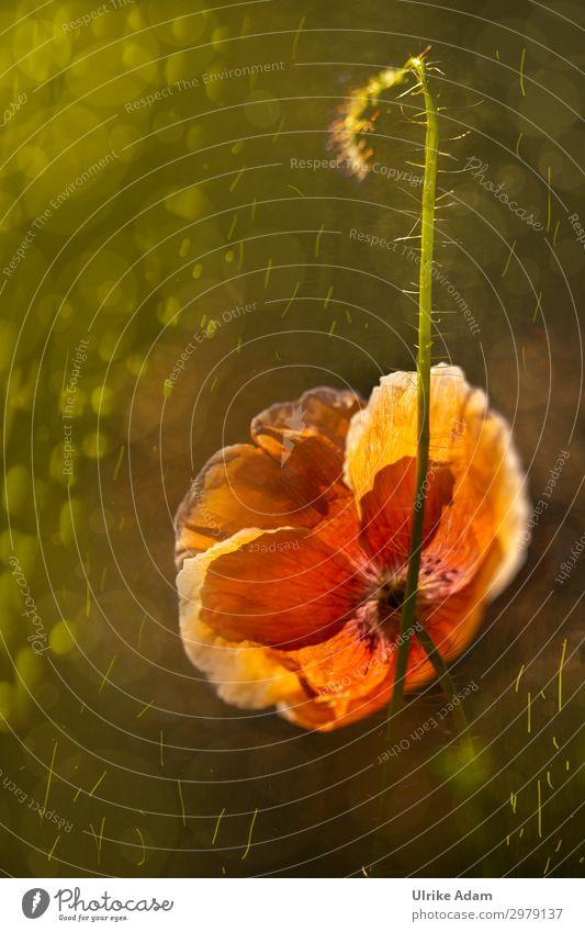 Leuchtender Mohn elegant Design Wellness harmonisch Wohlgefühl Zufriedenheit Erholung ruhig Meditation Spa Tapete Trauerkarte Muttertag Geburtstag Trauerfeier