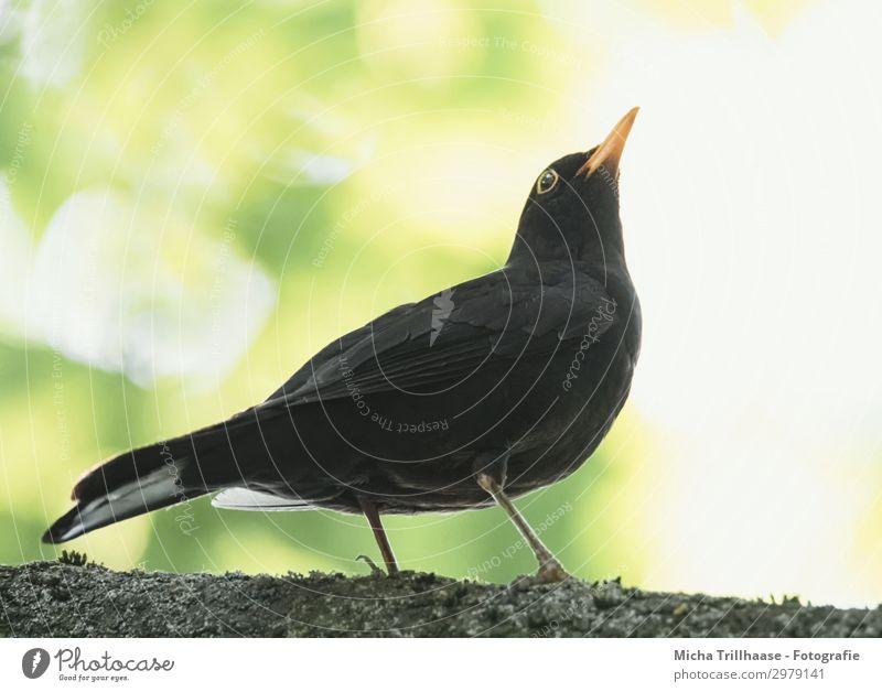 Amsel im Baum Natur grün weiß Sonne Tier Blatt schwarz gelb Auge natürlich orange Vogel Wildtier stehen Feder