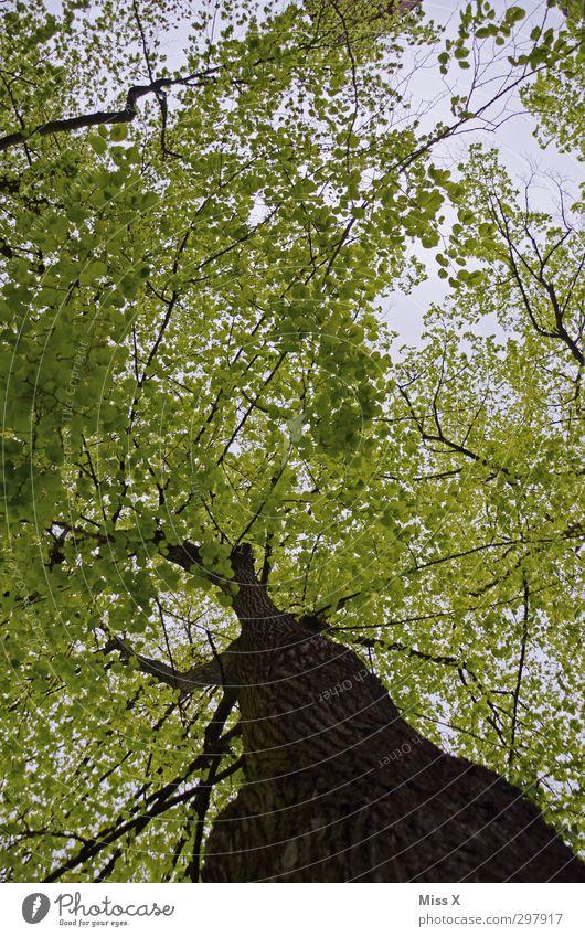 2. Frühling Sommer Baum Blatt Wald Wachstum groß grün Natur Buche Blattgrün Ast Zweige u. Äste Baumstamm alt Baumkrone Baumrinde Farbfoto mehrfarbig