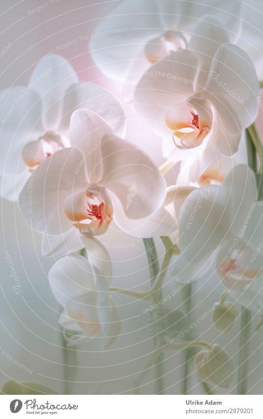 Weiße Orchideen elegant Design Wellness harmonisch Wohlgefühl Zufriedenheit Erholung ruhig Meditation Spa Dekoration & Verzierung Tapete Bild Muttertag Hochzeit