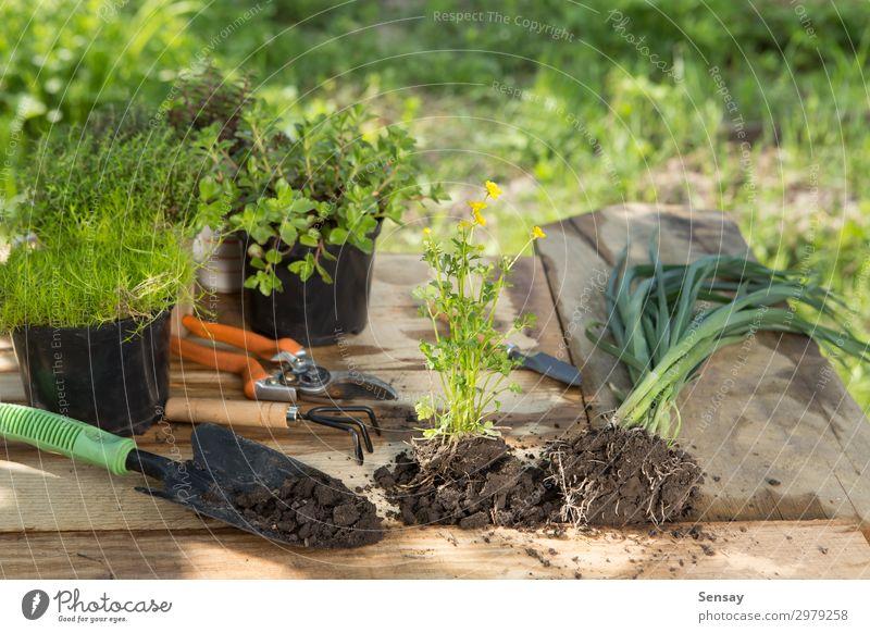 Setzlinge, Pflanzen in Töpfen und Gartengeräten Topf Freizeit & Hobby Sommer Tisch Arbeit & Erwerbstätigkeit Gartenarbeit Frau Erwachsene Umwelt Natur Erde