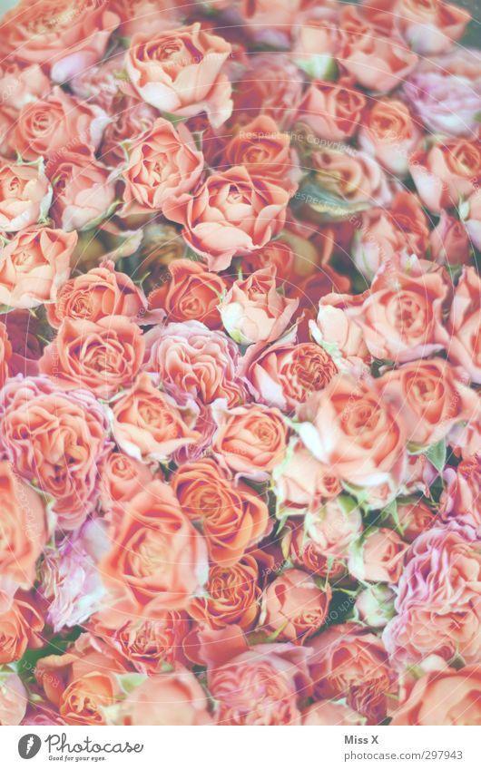 Rosa Mädchentraum Pflanze Frühling Blume Rose Blüte Blühend Duft hell rosa Stimmung Verliebtheit Romantik Rosenblüte Blumenstrauß Blütenknospen Farbfoto