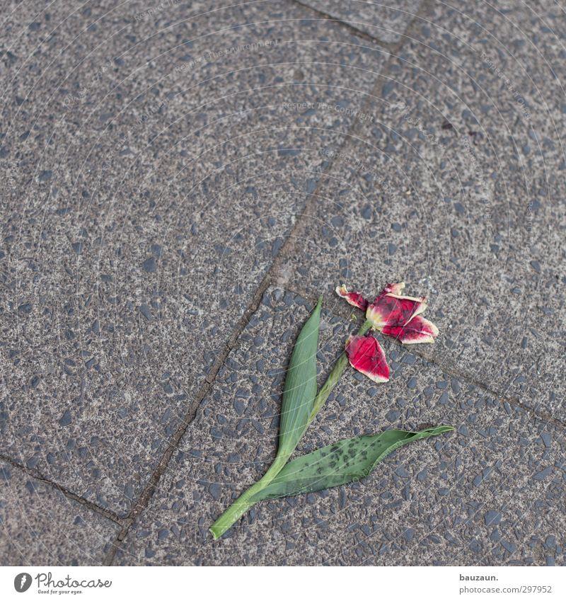 tulpe. platt. Natur grün Pflanze rot Einsamkeit Blume Blatt Umwelt Straße Frühling Wege & Pfade grau Blüte kaputt Vergänglichkeit Asphalt