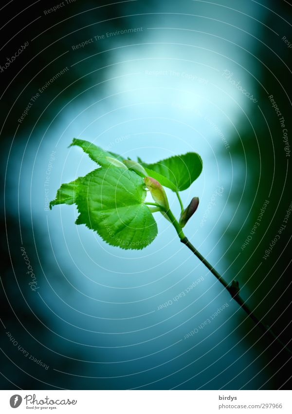 zartes Lindengrün Natur schön Pflanze Blatt Frühling Wachstum frisch ästhetisch Ast einzigartig Romantik türkis positiv saftig Frühlingsgefühle