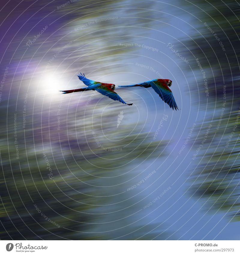 Eilige Papageien Himmel Sonne Baum Urwald Haustier Wildtier Vogel 2 Tier fliegen Geschwindigkeit Ara mehrfarbig Farbfoto Außenaufnahme Textfreiraum oben