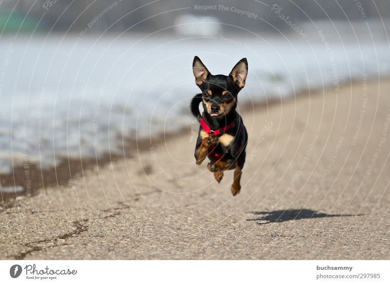 Rennender Kleiner Hund Freude Natur Schönes Wetter Straße Haustier 1 Tier rennen klein Geschwindigkeit schwarz weiß Aktion Chihuahua Desert Chiwawa fliegen