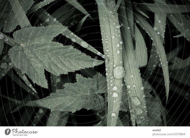 Halme und Blätter Umwelt Natur Pflanze Wassertropfen Gras Sträucher Blatt dunkel nah nass natürlich grün Traurigkeit Sorge Trauer Tod Idylle Farbfoto