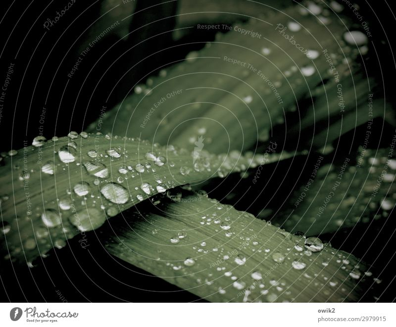 Benetzt Pflanze Wassertropfen Gras Sträucher Blatt liegen warten dunkel klein nah nass grün Gelassenheit geduldig ruhig träumen Traurigkeit Sorge Trauer