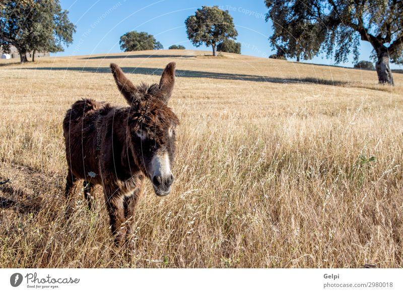 Schöner brauner Esel Freude Gesäß Natur Landschaft Tier Gras Pelzmantel Haustier Pferd lustig niedlich weiß Säugetier vereinzelt ländlich Wirbeltier heimisch
