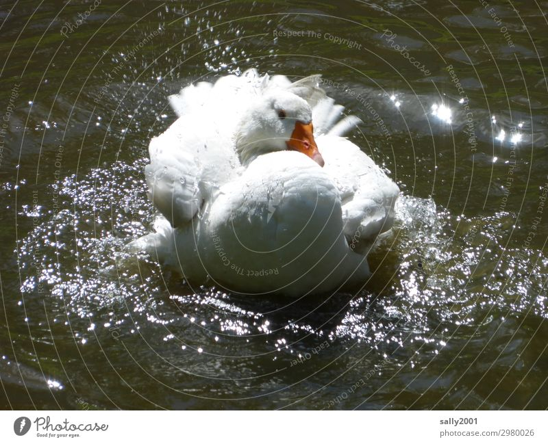 eine weiße Hausgans nimmt ein erfrischendes Bad... Gans See Wasser Teich baden plantschen abkühlen waschen sauber spritzen Tier Sommer nass Schwimmen & Baden