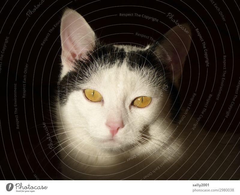 Sonntagskatze... Tier Haustier Katze Tiergesicht 1 beobachten Blick ästhetisch schön Tierliebe Hauskatze Katzenohr niedlich Stolz Sylt Farbfoto Innenaufnahme