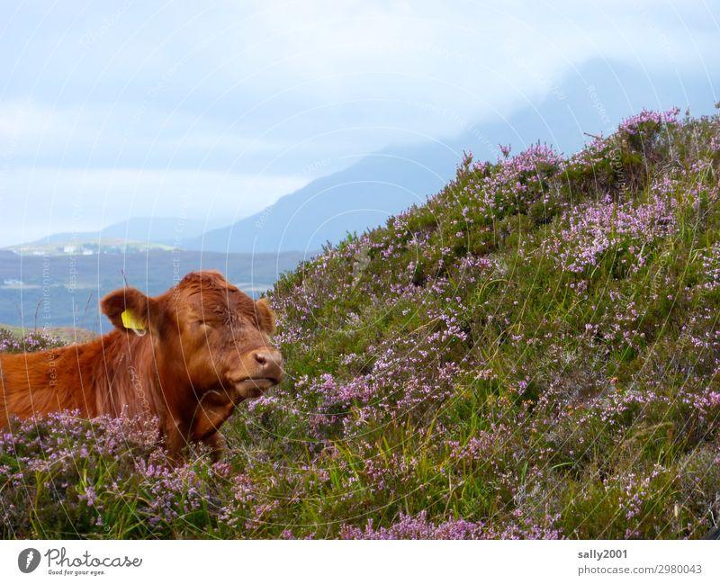 Lieblingsplätzchen... Landschaft Bergheide Berge u. Gebirge Heide Tier Nutztier Kuh 1 Denken Erholung liegen braun Zufriedenheit Geborgenheit Gelassenheit