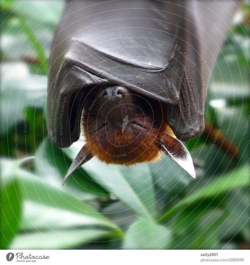 Erst mal abhängen... Tier Wildtier Flughunde Fledertiere 1 schlafen exotisch braun Müdigkeit zudecken Erholung gemütlich Tierhaut Asien Farbfoto Außenaufnahme